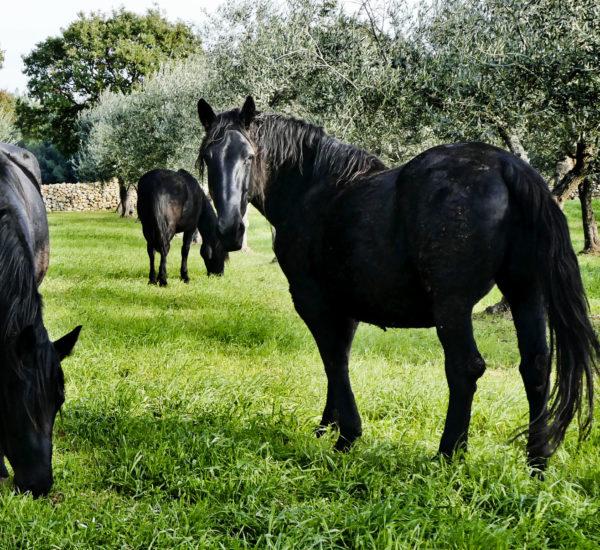 Cavalli murgesi